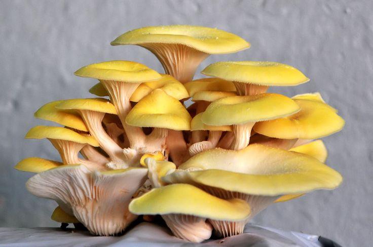 10 g GOLDEN OYSTER Spawn Pleurotus Mushroom Mycelium Fungus Seeds + Free eBook | Home & Garden, Yard, Garden & Outdoor Living, Plants, Seeds & Bulbs | eBay!