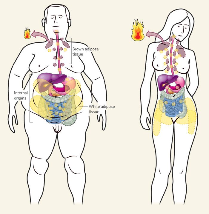 Brown Adipose Tissue in Males and Females. Stimulate with cool temperature for weight loss