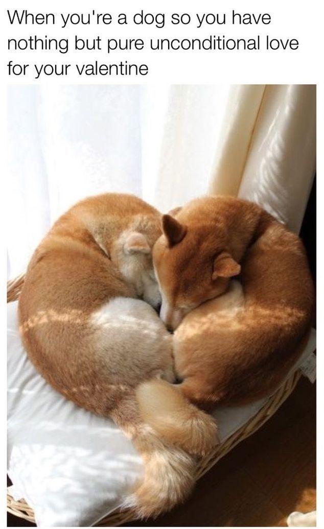 15 Valentine S Day Memes Funnyfoto Cute Animals Puppies Shiba Inu Dog