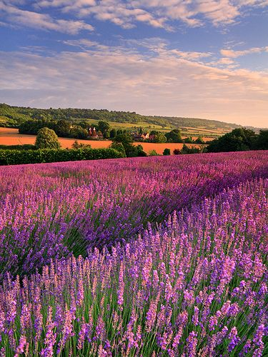 Lavender fields in Otford, Kent, England