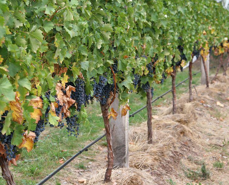 25 best ideas about grape vine trellis on pinterest