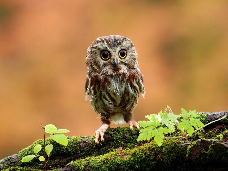 lintu kuvia, pöllö taustakuvia, puu vektori, ruoho valokuvia, pieniä taustat, sammal materiaali
