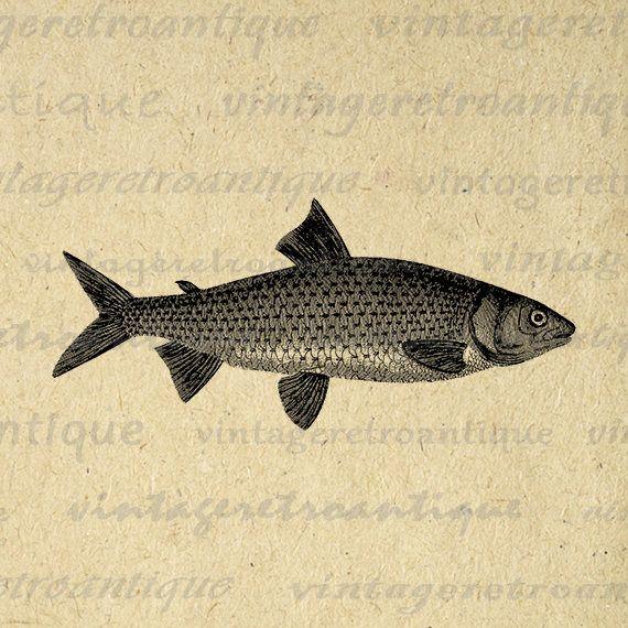 Antique Fish Illustration Digital Image Download Fishing Printable Fish Graphic Jpg Png Eps 18x18 HQ 300dpi No.4267 @ vintageretroantique.etsy.com #DigitalArt #Printable #Art #VintageRetroAntique #Digital #Clipart #Download