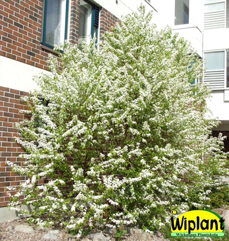 Prunus penssylvanica, amerikanskt häggkörsbär. Vita blommor. Höjd: 5-10 m.