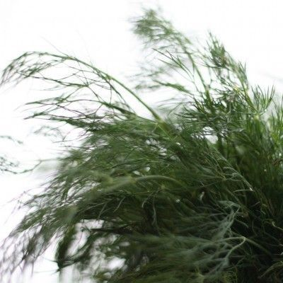 Information On How To Harvest Dill And Drying Dill Weed and Dill Seeds