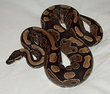 Python regius - Wikipedia, the free encyclopedia