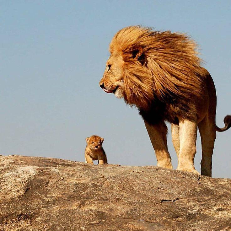 много картинка львенок с папой странице павла доступна