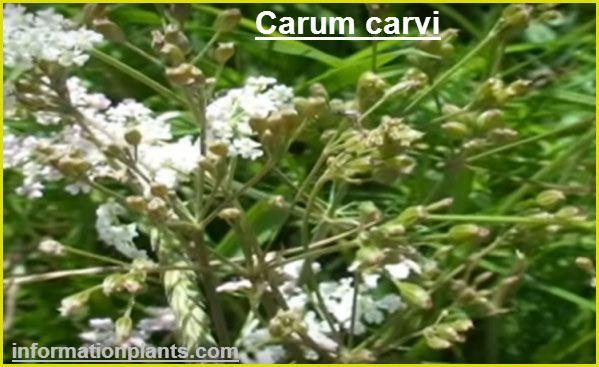الكراويا او الكراوية Carum Carvi بهارات مكسرات النبات معلومان عامه معلوماتية نبات حيوان اسماك فوائد Plants