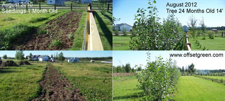 Okanese Hybrid Poplar Growth Rate