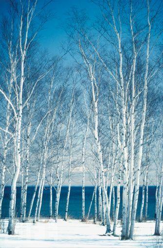 Birch trees on the banks of a lake, Lake Superior, Duluth, Minnesota, USA