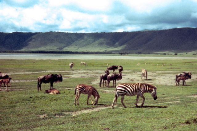 Ngorongoro Grazers by Scott Holcomb, via Flickr