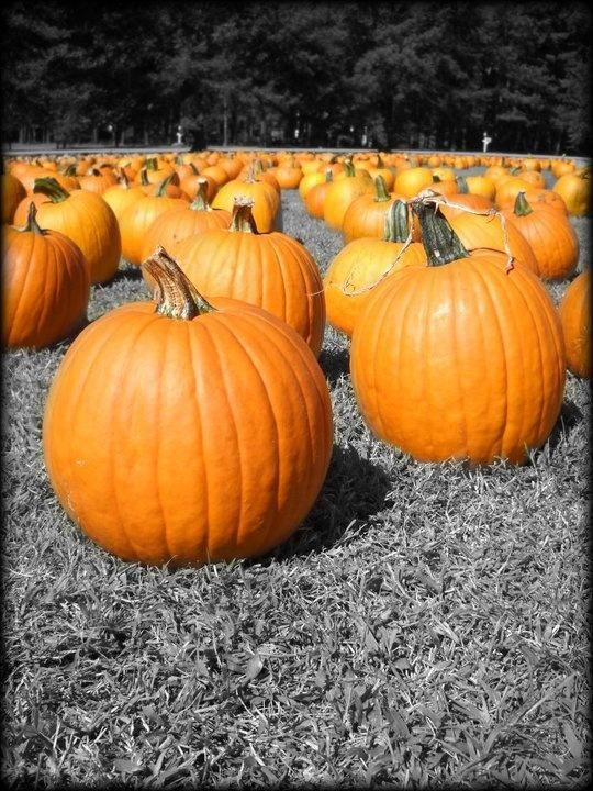 Pumpkin Patch: Color, Pumpkin Patches