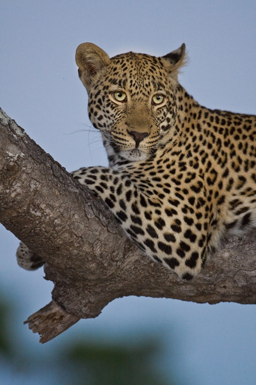 Leopard on safari at Sabi Sabi