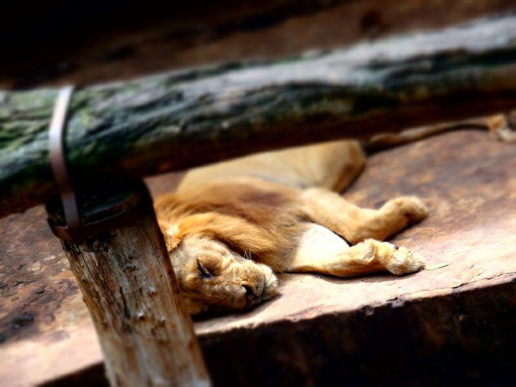 lion at dehiwala zoo