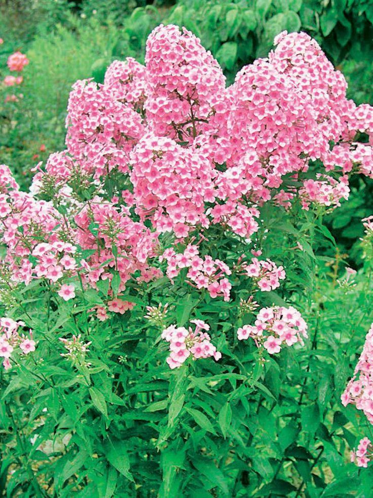Phlox: Auch wenn die Blütezeit im Garten länger anhält, bereichert die Flammenblume jeden bunten Sommerblumenstrauß mit ländlichem Charme