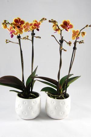 Orchidee Phalaenopsis Colombia in keramiek Chester wit.