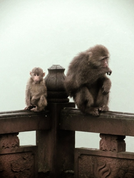 Monkeys on Mount Emei
