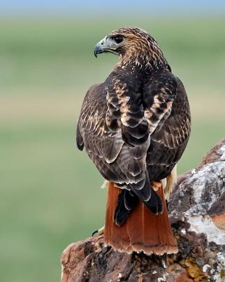 Red-tailed Hawk; a truly magnificent bird.  There are 2 nests on our property.