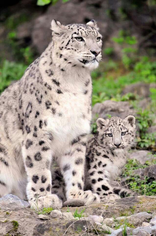 Mejores 224 imágenes de Leopardo de las nieves en Pinterest ...