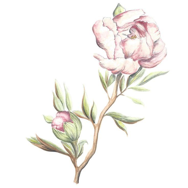 Image of [PRINT] Paeonia suffruticosa