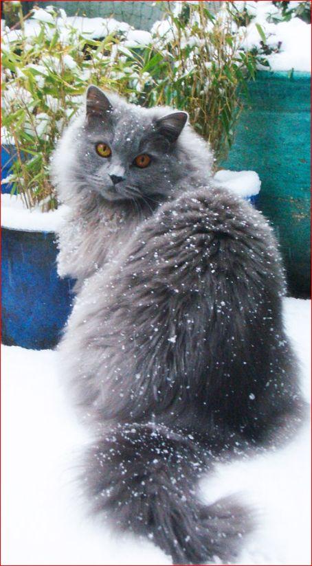 Highlander cat · blue british longhair