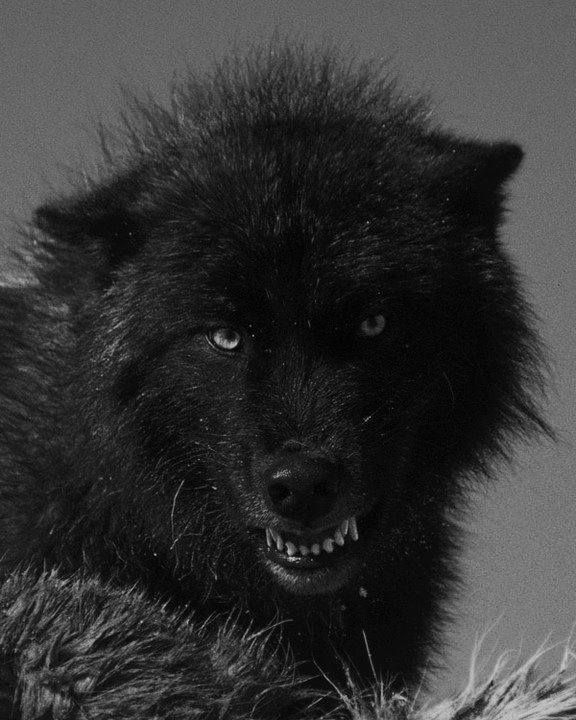 393 Best Images About Wolves On Pinterest