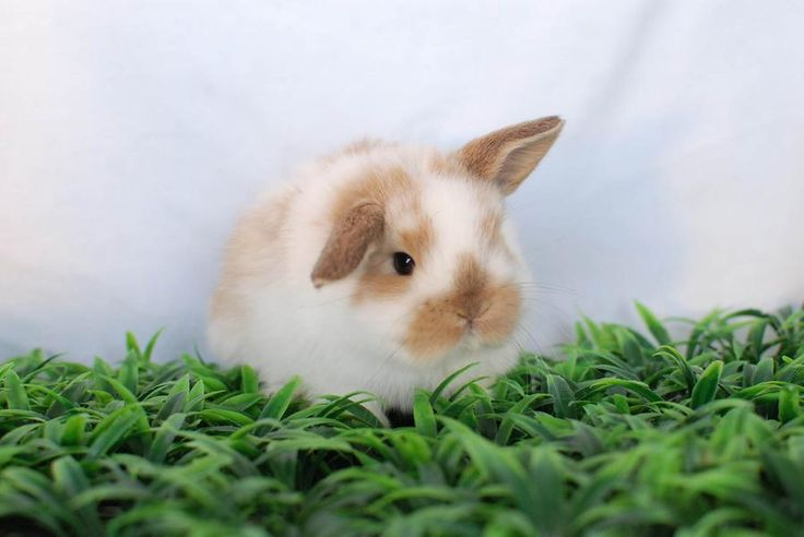 Holland Lop Rabbits - Holland Lop's For Sale