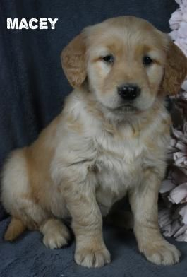 Pin By Ashwini On Cute Dogs Golden Retriever Breed Cute Dogs