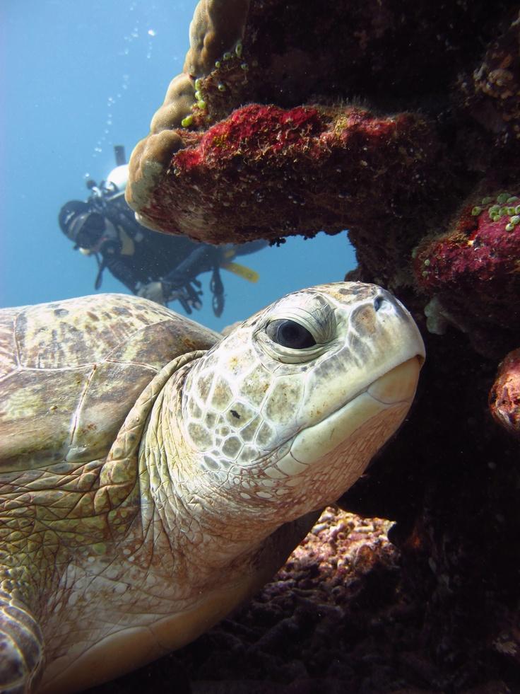 Green sea turtle at Shark Point -Diversia Diving Gili Trawangan Lombok Indonesia