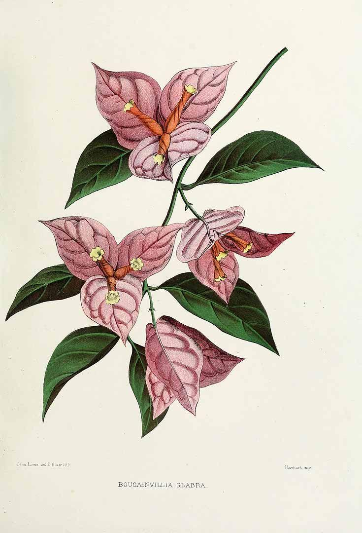 Bougainvillea glabra illustration - Google Search