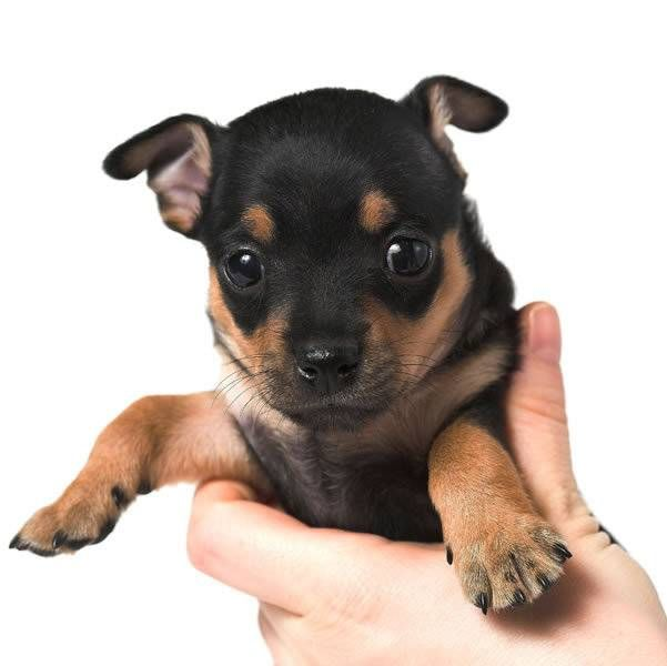 Pinscher | Tudo Sobre a Raça de Cachorro Pinscher