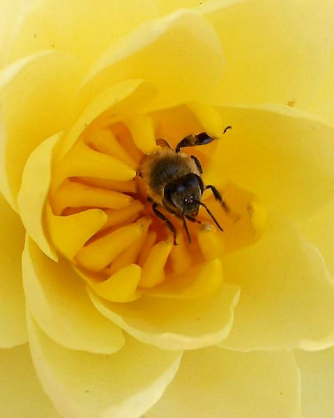HONEY BEE & TEXAS DAWN WATERLILY by The Pond Plant Girl