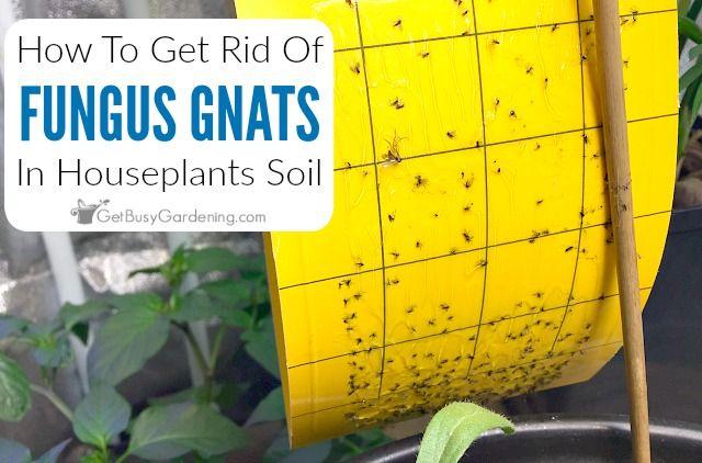 Best 25 Gnats In House Plants Ideas On Pinterest
