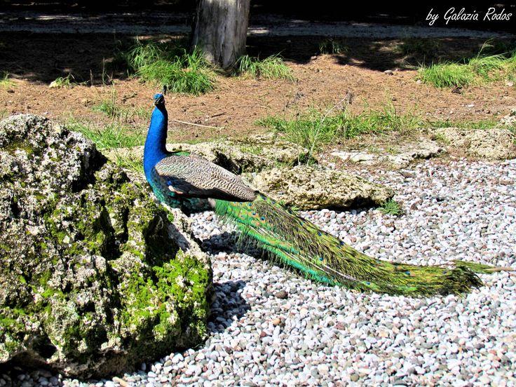 peacock - Rhodes island