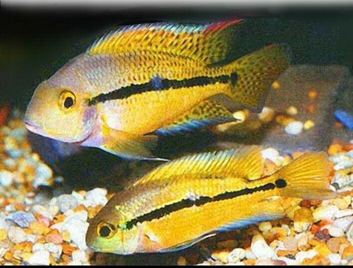 Nicaraguense Cichlid 2 17 90 Expedited Shipping In 2020 Cichlids Tropical Fish Aquarium American Cichlid