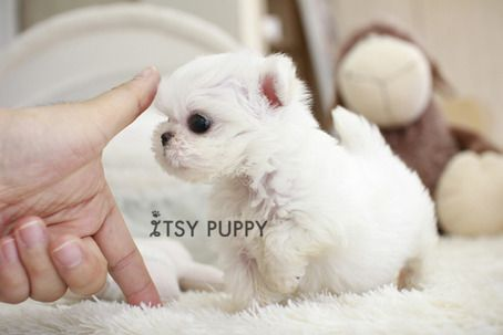KENZIE - MICRO MALTESE FEMALE - ITSY PUPPY: TEACUP PUPPIES FOR SALE IN CA |  MICRO AND TEACUP MALTESE POMERANIAN YORKIE POODLE PUPPIES FROM CALIFORNIA  on The Hunt