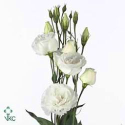 Cessna White Is A Tall Cut Flower With Multiple Bell Shaped Flowers Very Por For Wedding And Arrangements