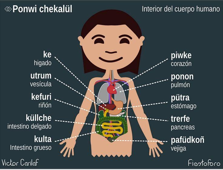 Ponwi chekalül / Órganos internos.