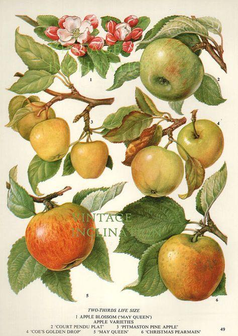 Vintage botanischen Drucken Antique Äpfel 49 von VintageInclination