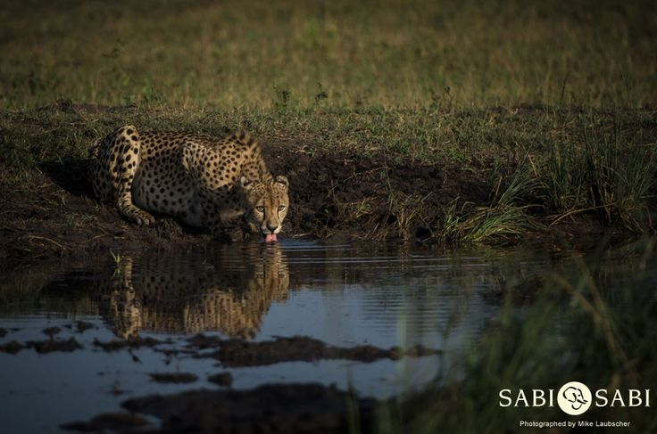 This impressive male cheetah enjoyed a drink before moving off to rest in the shade