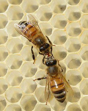 Miel, propóleo, jalea real... las abejas ayudan en el cuidado de la salud | T en Emol.com