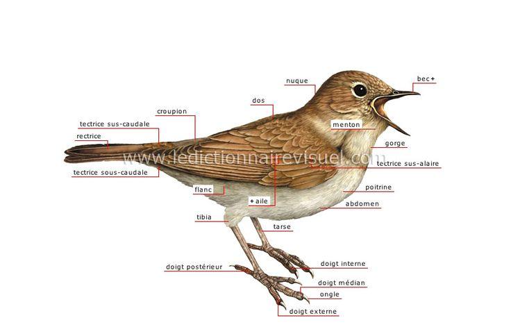 morphologie de l oiseau s oiseaux pinterest animaux. Black Bedroom Furniture Sets. Home Design Ideas