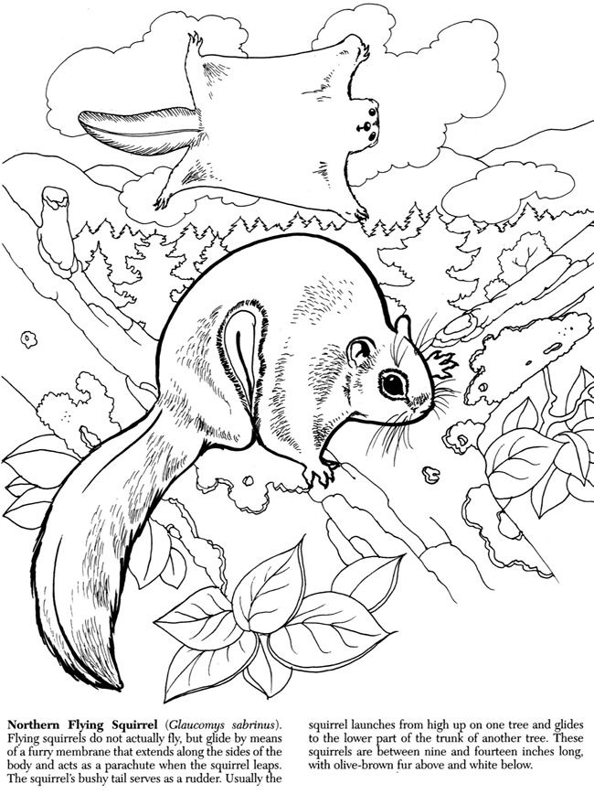 43 best transfer patterns birds images on pinterest for Flying squirrel coloring page