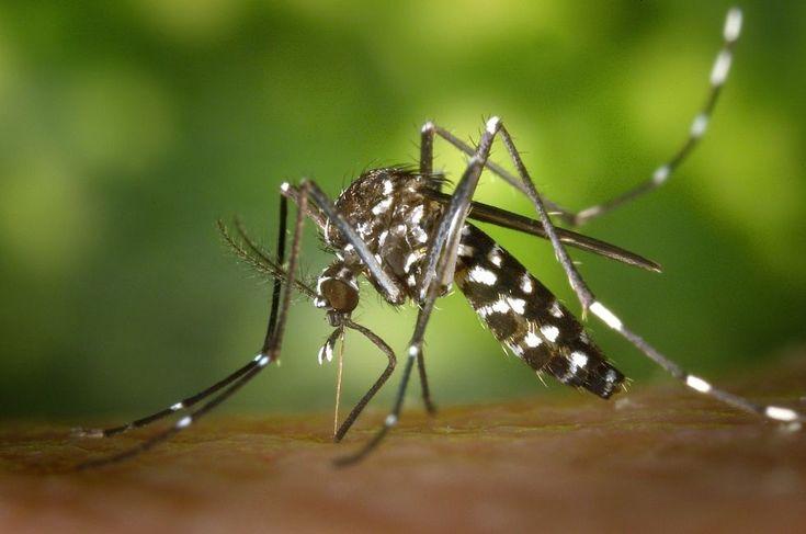 Un mosquito tigre.
