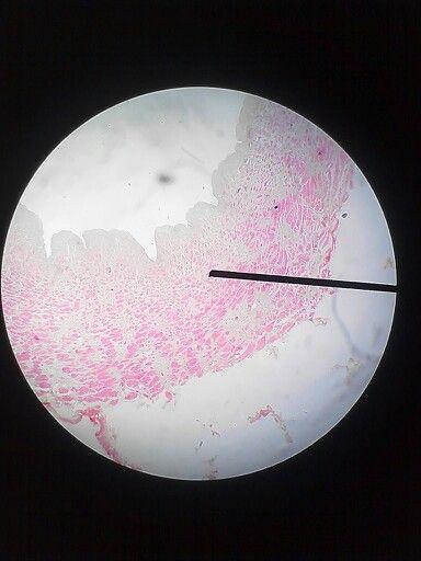 Histology // vena besar // HE // perbesaran 40 // vena mesentrika /