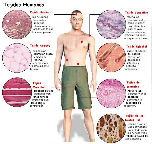 Es esta imagen podemos observar los diferentes tipos de tejidos humanos, que son grupos de células de una misma clase o tipo, que se agrupan para cumplir una tarea o tareas específicas. También observamos en que partes del cuerpo son más comunes encontrar el tejido nervioso, adiposo, muscular, conectivo, etc. Moreno Ramos Nadia Yesenia