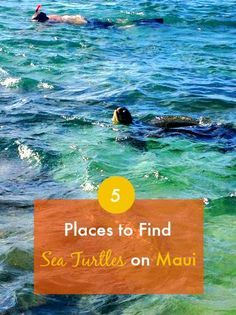 Check out the five best places to find sea turtles on Maui...some snorkeling spots but also others on land!