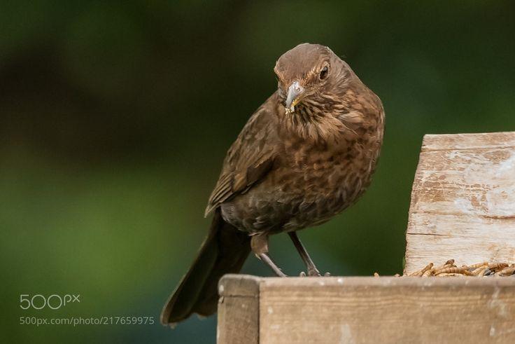 Female Blackbird by MartinAndrewEagle via http://ift.tt/2tRmTKi