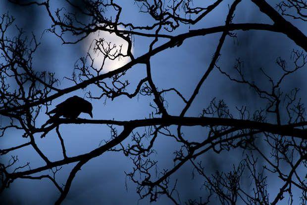 Le corbeau au clair de lune / Gideon Knight, vainqueur 2016 catégorie jeunes photographes Sur les branches dénudées d'un sycomore du Valentines Park de Londres, le photographe anglais Gideon Knight, habitué des lieux, a réalisé cette photo d'une silhouette de corbeau qui se découpe parfaitement dans le clair de lune. La lumière bleutée et la masse blanche de la lune en arrière-plan font penser à une image sortie d'un conte de fées.