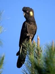 Yellow Tailed Black Cockatoo - there are other varieties of Black Cockatoo, but this is the one we get here. We don't get these guys a lot, but they are beautiful with the most mournful cry. I love it when they come by. The love seeds and will use non-native plants to their advantage as well. They fly in flocks and it is a great pleasure when they grace us with their presence. A big, beautiful bird.
